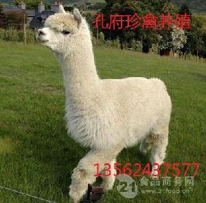 宁夏哪里有卖羊驼的地方白色的羊驼多少钱一只出售