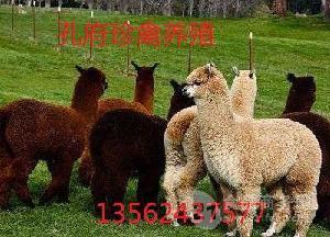 新疆哪里有卖羊驼的地方羊驼多少钱一只出售