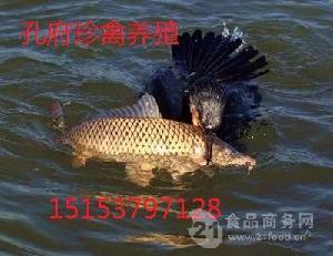 芜湖哪里有鸬鹚养殖场鸬鹚多少钱一只