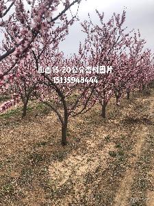 杏树主产地介绍·山西杏树基地详情·杏树主要种植基地详情