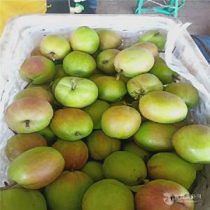 桃树苗哪里卖=黄金蜜1号桃树苗出售价格=嫁接桃树苗哪里有