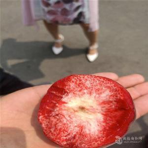 哪里卖桃树苗-秋丽桃树苗哪里卖、桃树苗多少钱一棵