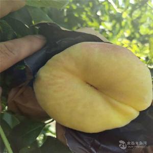 出售桃树苗-黑桃树苗、新品种桃树苗