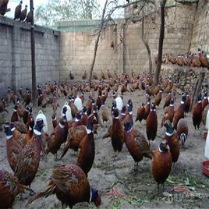 廠家供應優質七彩山雞 生態散養七彩山雞批發 量大從優