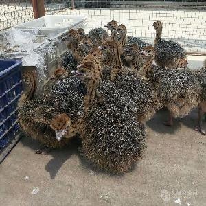 厂家直销非洲鸵鸟苗;鸵鸟苗能长多大;鸵鸟苗吃什么长势快
