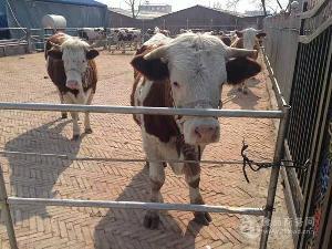 湖南省紫红花的西门塔尔小牛价格