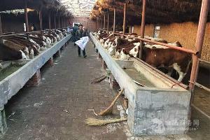 湖南省各规格西门塔尔小牛价格表,价格合理