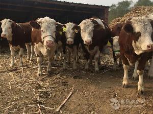 黑龙江省西门塔尔养牛场出售优质小肉牛犊子,价格合理