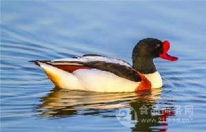 哪里有觀賞鴨出售水系觀賞動物