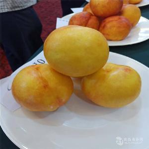 哪里批发桃树苗-黄金脆桃树苗哪里有=桃树苗价格