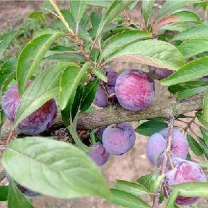 都江堰销售脆红李子苗,脆红李子苗,李子果树苗基地