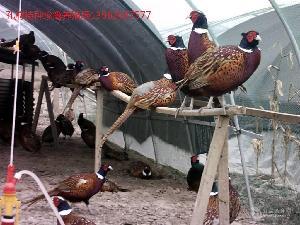 哪里有人工養殖七彩山雞的